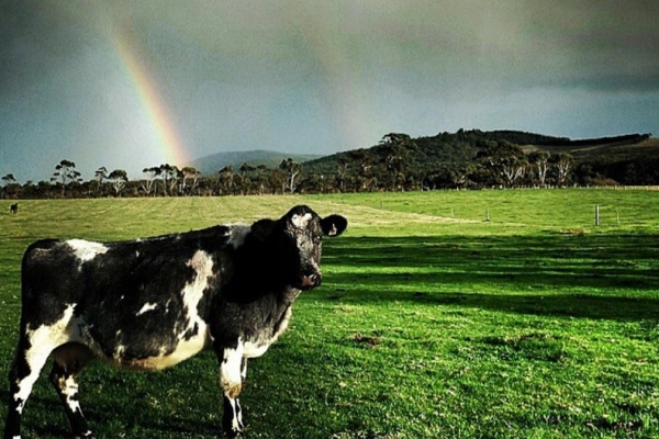 cow-and-rainbow-yanakie509C8438-6C1F-FD09-D4D3-F59FF669B311.jpg